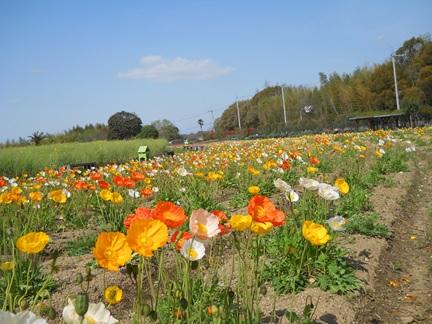 ポピー菜の花