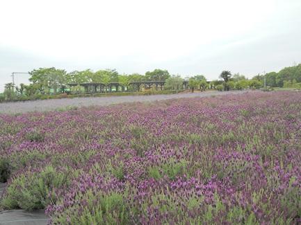四季咲きラベンダー